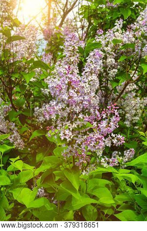 Syringa vulgaris  is a common lilac flowering plant with a powerful scent