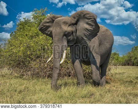 close up of an African elephant with big tusks charging  in the African bush