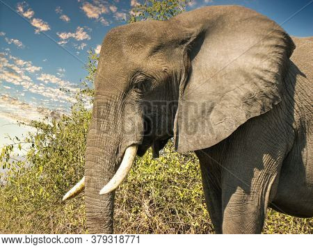close up of an African elephant with big tusks in the African bush