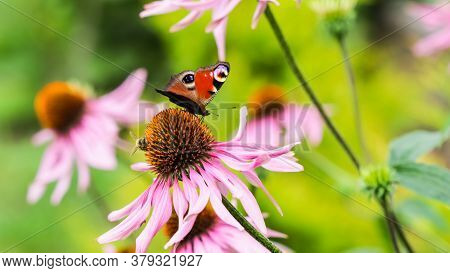 Beautiful Colored European Peacock Butterfly (inachis Io, Aglais Io) And A Bee On A Purple Echinacea