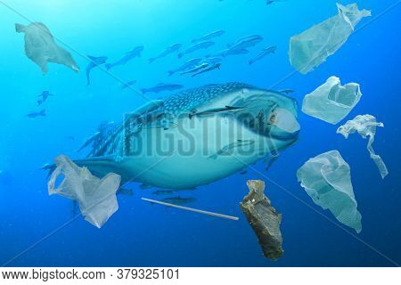 Plastic ocean pollution. Whale Shark filter feeds in polluted ocean, ingesting plastic