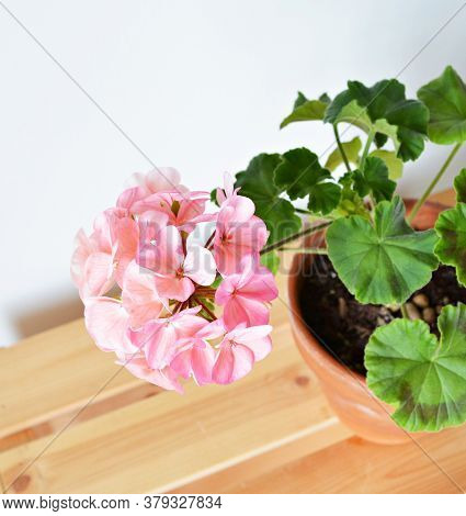 Blooming Pink Pelargonium House Plant In Terracotta Pot On Wooden Box Over White