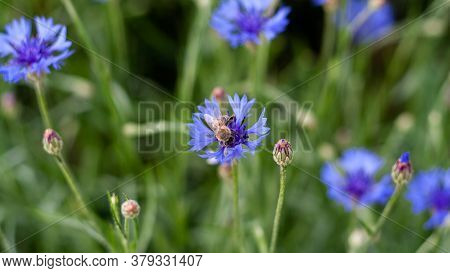 Bee Is Sitting On Cornflower Closeup Photo With Blurred Background. Beautiful Flower Of Blue Cyanus