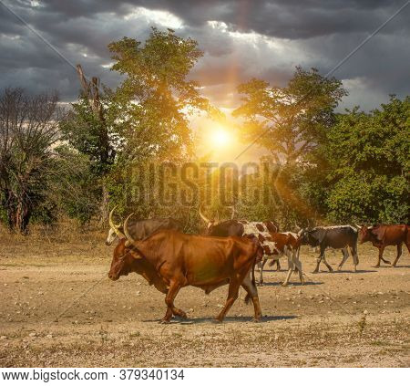 Herd of Nguni cattle  on dry land walking back to the farm