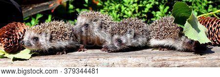 European Hedgehog (erinaceus Europaeus), Also Known As The West European Hedgehog Or Common Hedgehog