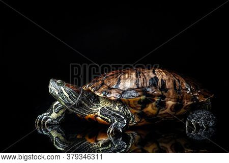 Red-eared Slider Trachemys Scripta Elegans Isolated On A Black Background.
