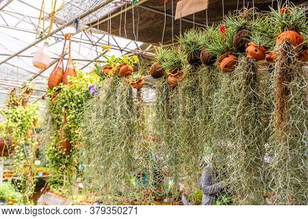 Tillandsia Is A Plant With A Large Root System. At The Plant Store.