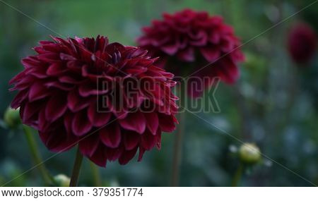 Deep Burgundy Dahlia Bloom (formal Decorative Type) Against A Background Of Other Dahlias And Foliag