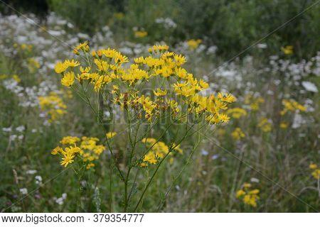 Common Ragwort Stinking Willie Tansy Ragwort Benweed Senecio Jacobaea Syn. Jacobaea Vulgaris