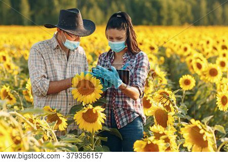 Man And Woman Farmer Agronomist In Gloves And Face Mask At Sunflower Field With Tablet Checking Harv