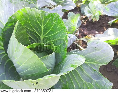 Cabbage Grows In The Vegetable Garden. Ripening. Gardening. Summer, Harvest. The Process Of Growing
