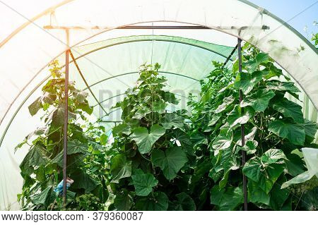 Greenhouse Cucumbers. Young Cucumbers Grow On A Bush. Homemade Cucumbers