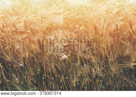 Golden Wheat Field At Sunny Day As Natural Background With Copyspace. Rural Scenery With Ripening Ea
