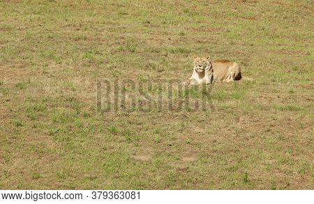 Lioness Resting In The Meadow While Watching Us.