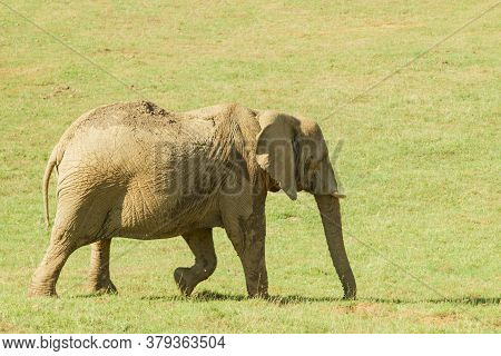 A Young Elephant With Tusks In The Meadow
