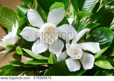 Top view beautiful white gardenia closeup with leaves background