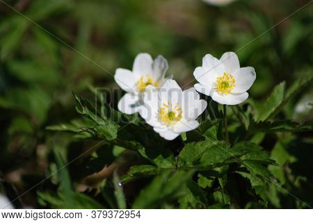 Whiter Flower Grows In The Forest. This Flower Is A Harbinger Of Spring. Beautiful Early Spring.