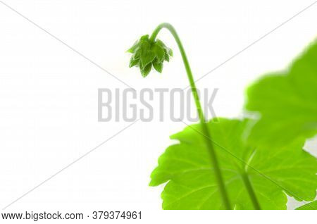 Green Bud Flower Geranium On A White Background