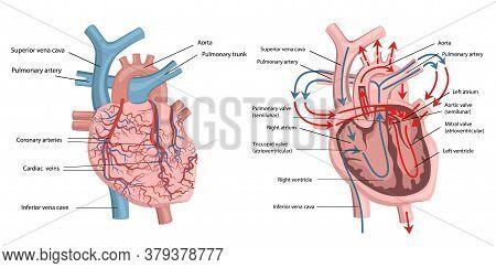 Vector Illustration Of Human Heart Structure. Medicine.