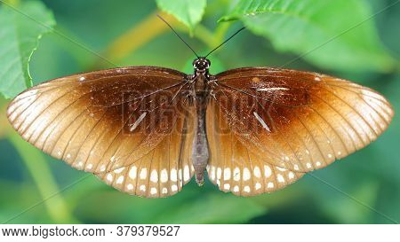 brown monarch butterfly resting on a leaf, wings wide open, a gracious and fragile lepidoptera insect famous for its migration in big groups, macro photo in a botanical garden, Chiang Mai, Thailand