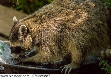 A Raccoon Hunting In A Trash Can For Food In Stanley Park, Vancouver, British Columbia, Canada