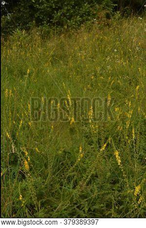 Common Agrimony (agrimonia Eupatoria).medicinal Plant:agrimonia Eupatoria. Common Agrimony