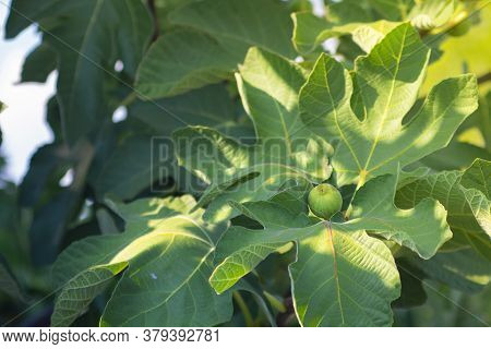 Rape Green Fig Growing On A Branch Of A Big Tree With Beautiful Leaves In Bright Summer Sun Light. E