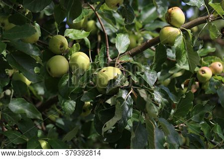 Green Apples Ripen On Tree Branches In Summer