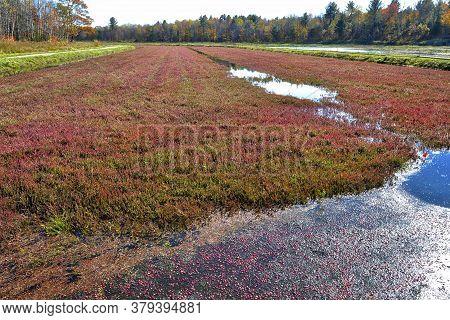 Cranberry In Cranberry Marsh, Bala, Ontario, Canada