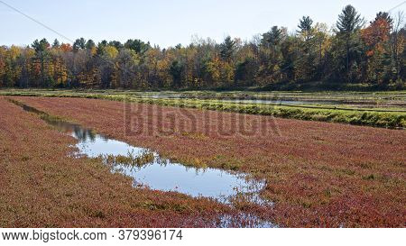 Cranberry In Cranberry Marsh With Forest In The Background