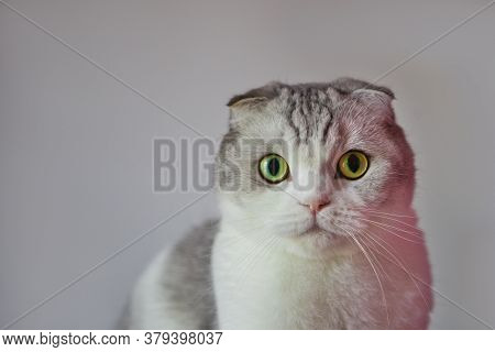 Scottish Fold Cat With Round Face. Portrait Of Surprised Scottish Fold Male Cat With Big Eyes
