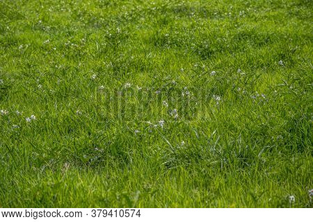 A Field Full Of White Flowering Horse Nettle Plants Which Is An Invasive Weed That Spreads And Is To