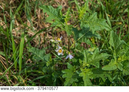 Horse Nettle Plant With White Star Shaped Flowers And Thorns On The Stems An Invasive Species Growin