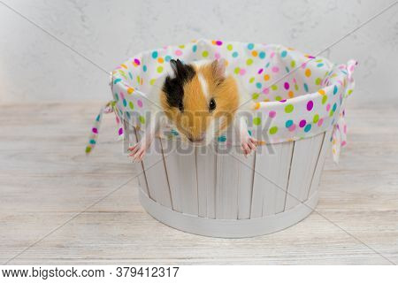 Multicolored Guinea Pig In A White Basket On A White Background. Redhead With White Spots Guinea Pig