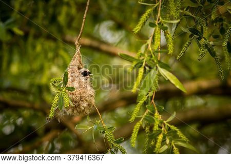 Close Up Penduline Tit