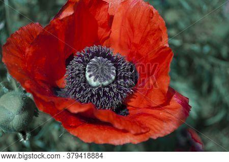 One Big Red Poppy Flower With Velvet Stamens On Blurred Green Background