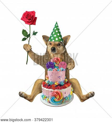 The Beige Dog In A Birthday Hat With A Red Rose Is Sitting Near A Two Tiered Cake. White Background.