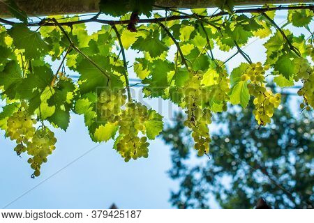 Bunches Of White Grapes Grow On The Farm. Ripe Fruit In The Vineyards Of The Winery. Concept Vitamin