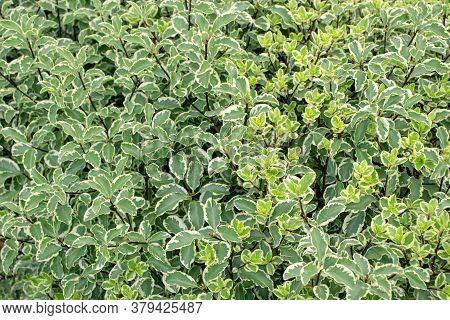 Red-barked, White Or Siberian Dogwood Hedge Closeup. Cornus Alba Cultivar With Variegated Foliage.