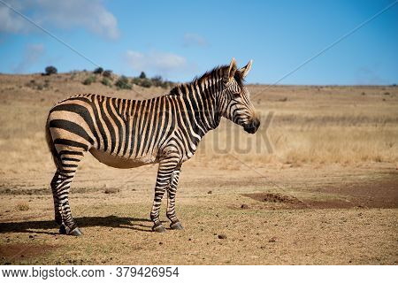 Lonely Beautiful Hartmann's Mountain Zebra Stands In Its Natural Habitat. Wildlife Safari In South A