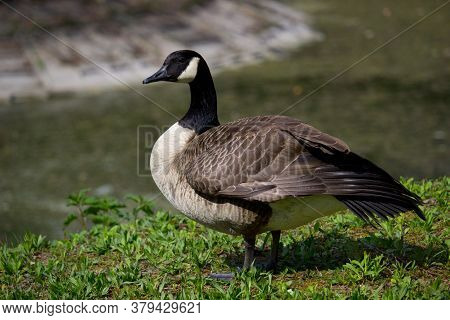 Wild Goose Standing On Ground In The Countryside
