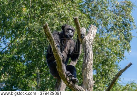 The Problem Of Global Warming. An Old Chimpanzee Sits On Top Of A Withered Tree. People Destroy The