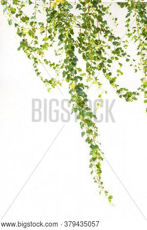 ivy isolated on a white background.
