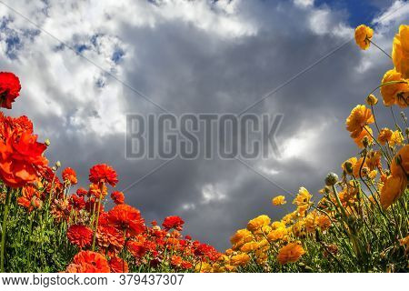Blooming garden red and yellow buttercups swaying in the wind. Heavy rain cloud over a flower field. Concept of artistic photography
