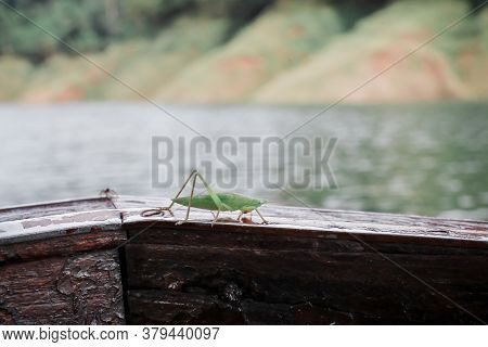 A Green Grasshopper Standing On Tourism Boat.great Green Bush-cricket Shed Skin (ecdysis) A Threaten