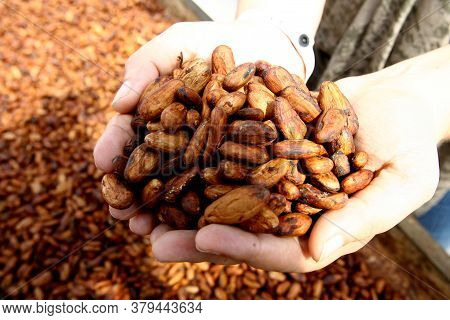 Ilheus, Bahia / Brazil - August 7, 2011: Dried Cacao Seeds Are Seen In A Fruit Plantation Farm In Th