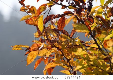 Autumn Leaves On Branches