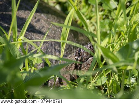 A Large Snapping Turtle Raises Its Head To The Morning Sun, Surrounded By Lush Grass In A Virginia M