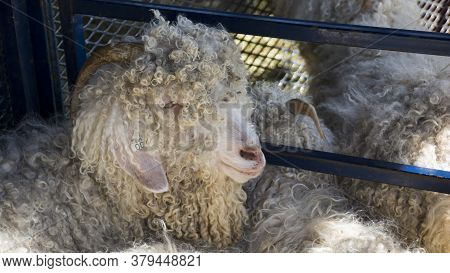 This Curly White-haired Angora Goat With Long Horns And Floppy Ears Stands In A Cage At An Agricultu