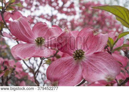 Pink Flowering Dogwood Flower Close-up Blossoms Close Up At A Public Park